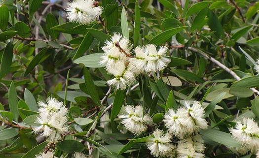 Melaleuca é fonte natural de extrato que traz diversos benefícios à saúde